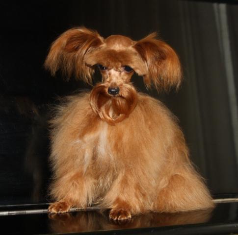 Орхидея петербургская собака купить